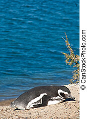 Beautiful Penguins in the Valdes peninsula in Angentina