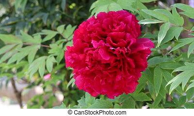 beautiful peony blossom - Close up of peony flower in...