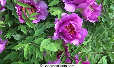 beautiful peony blossoms bush