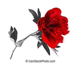 Beautiful peony flower on a white background