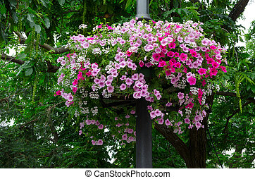 Beautiful petunia flower. Outside basket filled with vibrant...