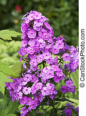 Beautiful fresh phlox plant in rural flowerbed