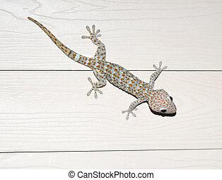 photos of exotic Tokay gecko - beautiful photos of exotic...