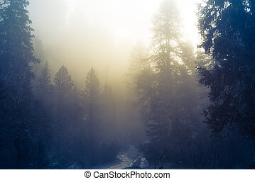 beautiful pine forest and sunbeams