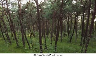 Beautiful pine forest at summer