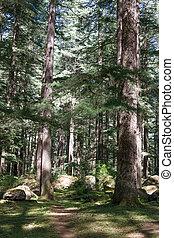 Beautiful pine forest in Manali, Himachal Pradesh, India