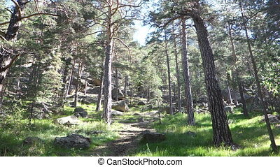beautiful pine forest in the sunlight
