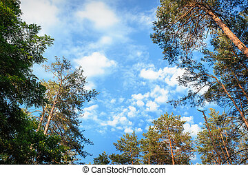 beautiful pine forest on the sky background