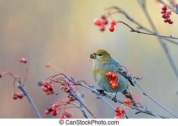 Beautiful Pine grosbeak, Pinicola enucleator, female bird feeding on berries in autumn