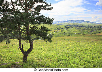 Beautiful pine on top of the Altai Mountains.