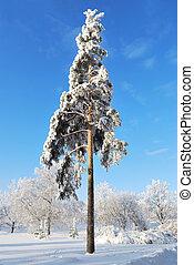 Beautiful pine-tree