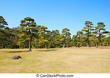 Pine tree in the park