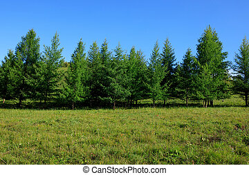 beautiful pine trees and green grassland under blue sky