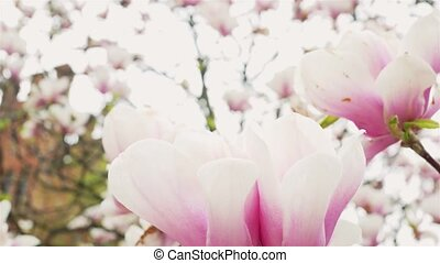 pink and white flowers - Beautiful pink and white flowers of...