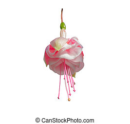 Beautiful pink and white fuchsia flower.