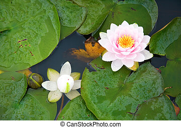 Beautiful pink and white waterlilies in a pond