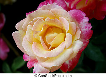 Beautiful pink and yellow rose