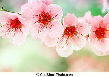 Beautiful pink apricot tree flowers