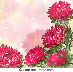 pink asters with a blurred background