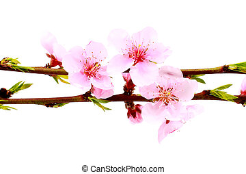 pink blossom - Beautiful pink blossom isolated on a white ...
