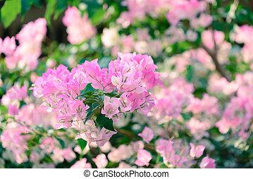 Beautiful pink bougainvillea flowers in winter.