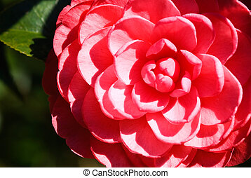 Beautiful pink camellia blossom in spring