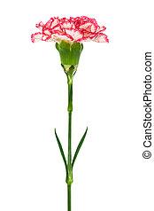 Beautiful pink carnation