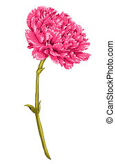 Beautiful pink carnation with the effect of a watercolor drawing isolated on white background. Hand-drawn with effect of drawing in watercolor