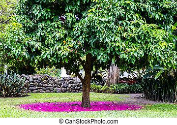 Beautiful pink carpet of flowers under a Malay rose apple (Syzygium malaccense ) tree