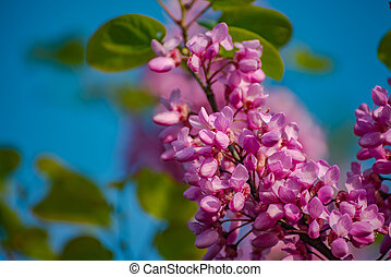 Beautiful pink cherry blossom flower at full bloom