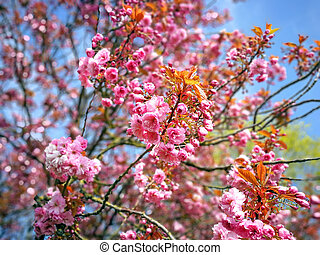 Beautiful pink cherry blossom on a tree