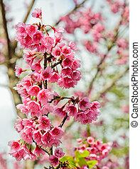 Beautiful pink cherry