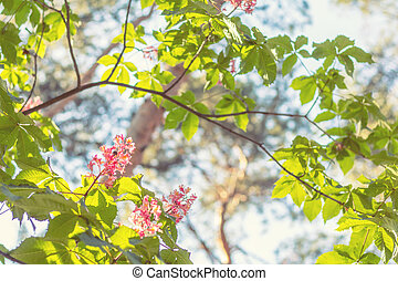 Beautiful pink chestnut blossom. Spring background. Close up