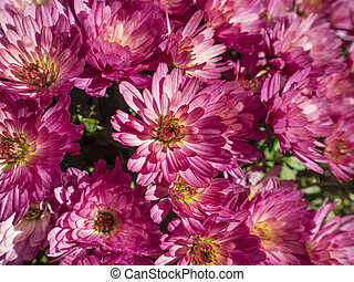 beautiful pink close up chrysanthemum flowers