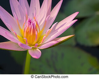 beautiful pink color water lily or lotus flower
