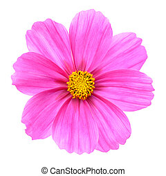 pink Cosmos - Beautiful pink Cosmos Flower isolated on white...