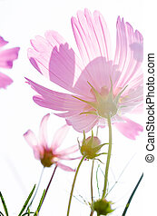 Beautiful pink cosmos flowers background.