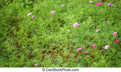 Beautiful pink cosmos on green background