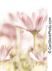 Beautiful pink daisy flowers - Beautiful daisy flowers...