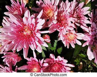 Beautiful pink Daisy flowers, close-up photo