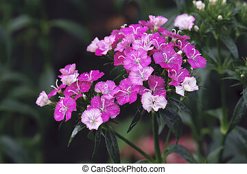 beautiful pink dianthus flower blooming in nature