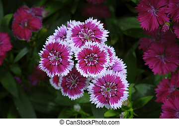 beautiful pink dianthus flower blooming in rainy