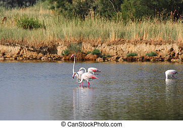 beautiful pink flamingos with long neck in the fresh water pond