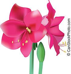 Beautiful pink flower amaryllis vector illustration