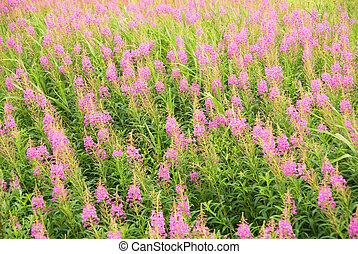 Beautiful pink flower field