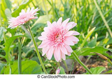 Beautiful pink flower , Gerbera on background