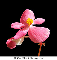 Beautiful pink flower isolated on a black background