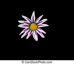 beautiful pink flower on a black background