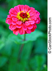 Beautiful pink flower on green background