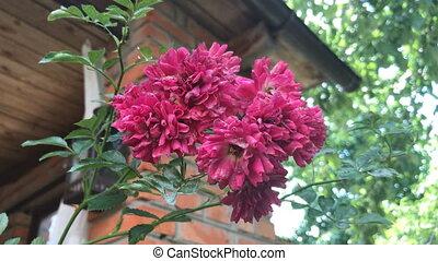 beautiful pink flowers grow near home